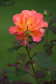 mardi gras roses mardi gras floribunda blooms mardi gras