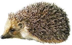 hedgehog clipart realistic pencil and in color hedgehog clipart