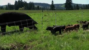 pastured pigs youtube