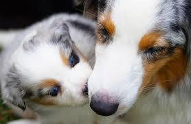 australian shepherd 2 mesi la scelta del cucciolo u2026 una razza a rischio