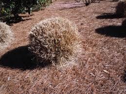 ornamental grass cutting back walter reeves the gardener