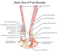 Calcaneus Anatomy Anatomy Human Foot Children Foot Clinic