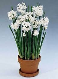 paperwhite flowers paperwhites flower gardens for everyone plant flowers perennials