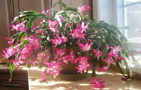 window planters indoor flowering beautiful long flowering cactus indoor in the window