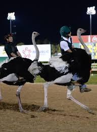 camel u0026 ostrich friday sam houston race park