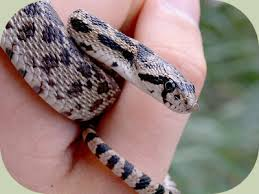 english pattern snake guides identify snakes a how to guide