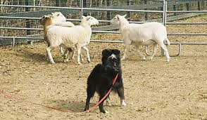 australian shepherd indiana how to teach an australian shepherd to herd