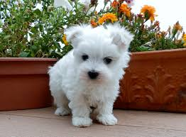 puppies for sale akc maltese puppies for sale in oregon females and males