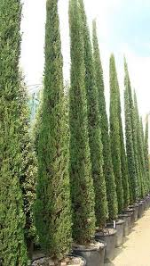 conifer trees for sale all sizes from to