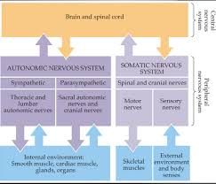 the somatic and autonomic nervous systems bethopedia
