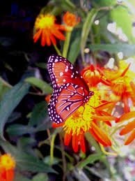 rare erato heliconian butterfly sighted at oleander acres rv