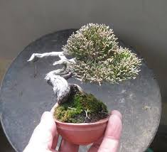 a soft spot for tiny trees bonsai bark