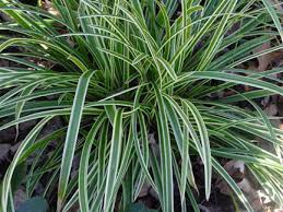 carex japanese sedge the gateway gardener