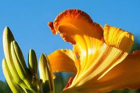 Day Lillies Daylillies