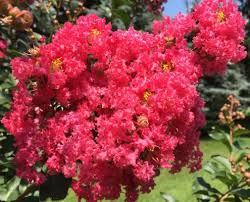 tree with pink flowers our 5 best flowering trees for southern california landscaping