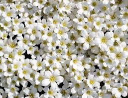 small white flowers small white flowers background stock photo colourbox