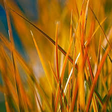 67 best ornamental grasses images on ornamental grasses