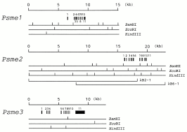 characterization of the mouse pa28 activator complex gene family