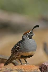 the king quail coturnix chinensis also known as button quail