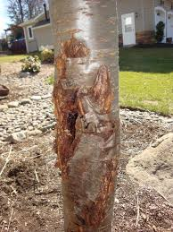 weeping cherry tree with photos disease or insects lawnsite