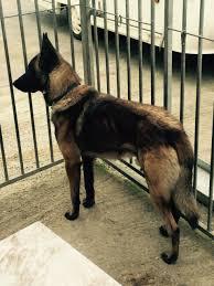belgian shepherd wanted belgian malinois x german shepherd 1 4 rottweiler bishop