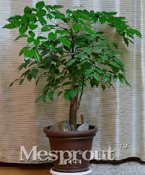 sale evergreen tree china heteropanax fragrans seeds beautiful