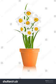 spring gardening white narcissus flowers pot stock vector