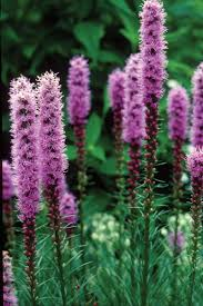 native plants uk liatris kobold making an attractive garden plant with there