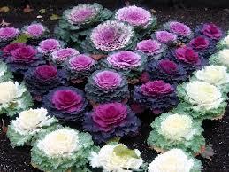 decorative cabbage plant solidaria garden