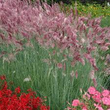 ornamental grass seeds