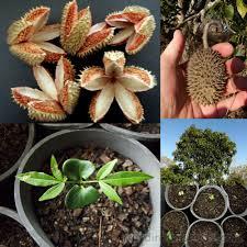 australis plants australian native plants flindersia australis crow ash australian teak seeds fair dinkum