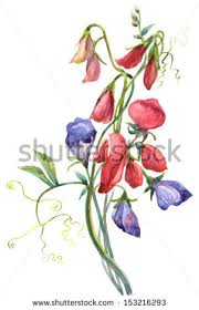 sweet pea flowers sweet pea flower stock images royalty free images vectors