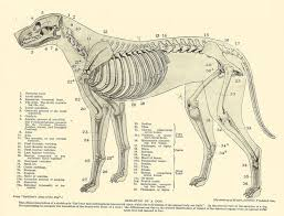 Dog Anatomy Poster Dog Anatomy Chart Of The Skeleton And Muscles