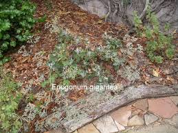 santa cruz native plants a california native plant garden in san diego county california