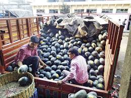 vashi market navi mumbai time to feast on watermelons as prices fall to rs 5 kg