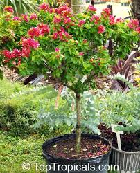 Garden Tree Types - toptropicals com rare plants for home and garden