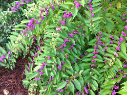 native louisiana plants native beautyberry enhances fall landscapes lsu agcenter
