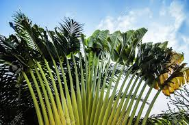 ornamental banana tree stock photo picture and royalty free