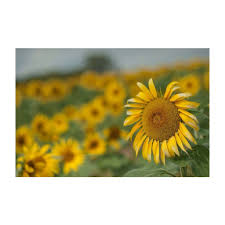 sunflower fields outside of longwood gardens rt 1 kennett square