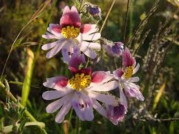 What Is An Orchid Flower - schizanthus care how to grow poor man u0027s orchids