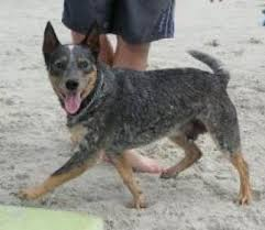 lifespan of australian shepherd australian cattle dogs australian cattle dog breed info