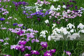 ponds full of iris flowers in bloom in a traditional japanese