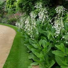 nicotiana sylvestris tobacco plant