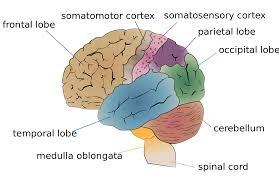 Brain Mapping Functional Specialization Brain Wikipedia