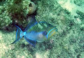 queen triggerfish st john life