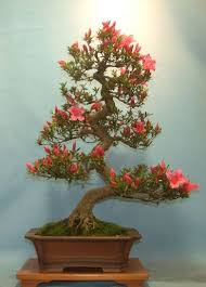 bonsai trees bonsai tree shop