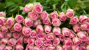 Pink Roses Wallpaper by Roses Wallpaper