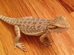 20 types bearded dragons colors species