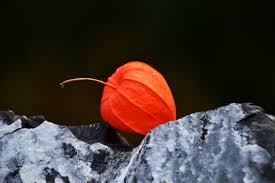 lantern flower free images nature structure leaf petal orange color
