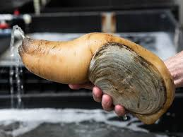 all about geoduck the life of a delicious oversized mollusk